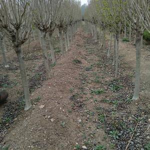 木槿树,三公分到四公分,原圃苗。