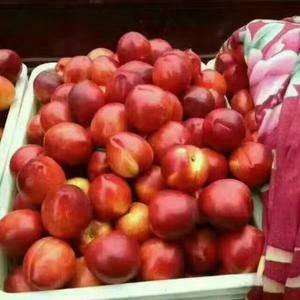 山东最大温室大棚油桃、西瓜、冷库苹果上市供应,品种有:中...