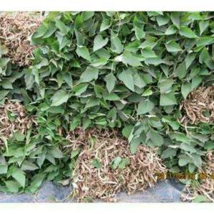 大量供应各种地瓜秧苗,烟暑,济暑,龙九,西瓜红