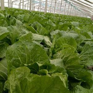 崂山棚白菜既将上市,品种菊锦。