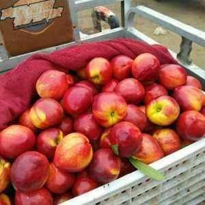 山东大棚油桃产地,现有大量油桃上市,品种齐全,价格便宜,...