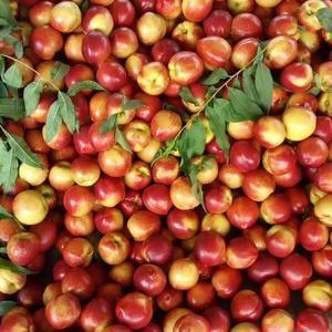 我处是山东最大的大棚油桃种植基地,品种有中油五号,中油四...