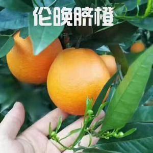 大量供应秭归脐橙、二月红、纽合尔、伦晚、夏橙、春碰、果园...