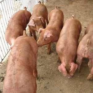 太湖小母猪,苏太小母猪,杜洛克公猪,大约克公猪,需要联系