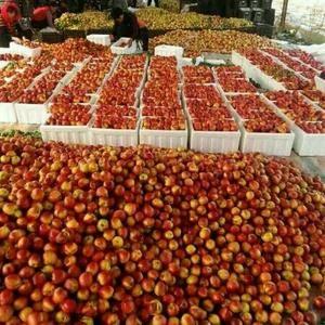 山东万亩大棚油桃大量上市了15689669795