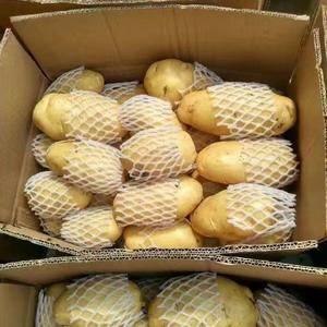 山东济南土豆,肥城地区春季新土豆大量供应中,我处常年供应...