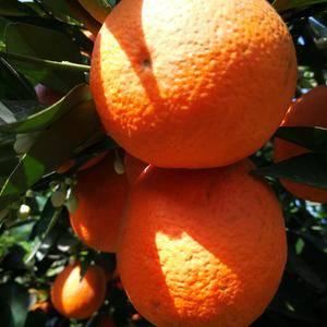秭归脐橙,红心脐橙,伦晚脐橙,夏橙鲜果大量供应,欢迎您来...