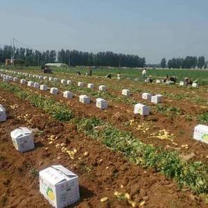 山东肥城地区春季新土豆大量供应中,我处常年供应荷兰土豆,...