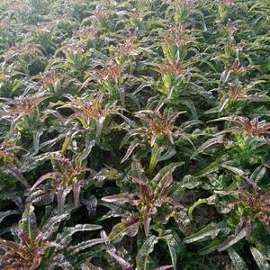 红叶莴笋每年十月二十几号上市,也可包地.每亩地3000元...