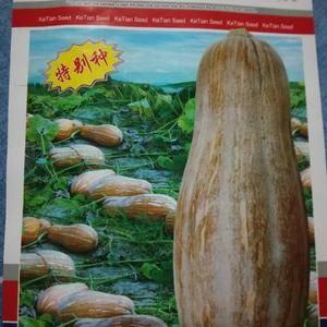 金川系列南瓜种子,个大,肉红产量高
