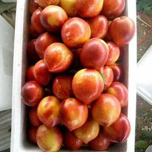 15762366966山东大棚油桃以大量上市。我处品种繁...