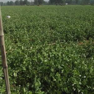 200亩豌豆,即将上市,质量好,货源充足,包上车,有需要...
