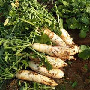 地里标志性产地萝卜,黄沙泥萝卜