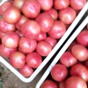 本地有大量硬粉西红柿正在下货。联系人李青峰  18647...