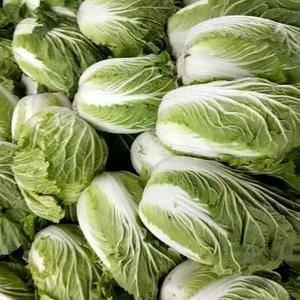 大量供应春季露天大白菜