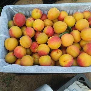 陆地丰园红杏、5月份中旬上市、上市最早、该杏为优质早熟的...