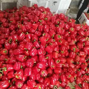大量预定红彩椒黄彩椒种子和苗子,技术指导,量大优惠,联系...