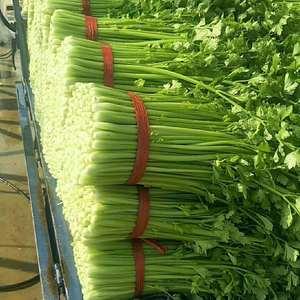 安徽淮北市小棵芹菜大量上市中,自有200多亩基地,绝对保...