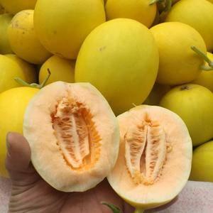 陕西甜瓜大量上市,口感甜质量好货源多。