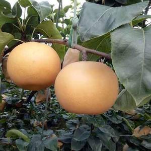 本基地大量出售嫁接枝条。秋月梨、南水梨、丑梨、嫁接枝条以...