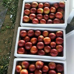 大量批发油桃,品种多,中油5号,126,中油4号等,货源...