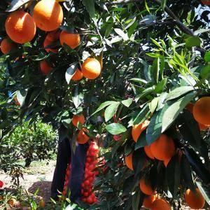 宜昌橙子大量上市,产地直销,以质伦价,欢迎订购!