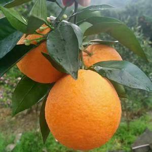 产地直销秭归夏橙,秭归伦晚,货源充足,价格平稳,口感极佳...