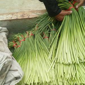 蒜苔大量供应,专业冷库,库存十余年,苔条长,无斑点,发绿...