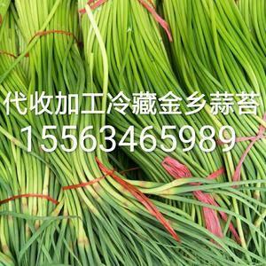 金乡蒜苔大量上市,<br> 常年代收加工冷藏金乡大蒜,...