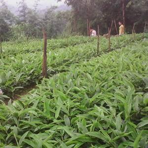 中国砂仁之乡,出售砂仁苗。