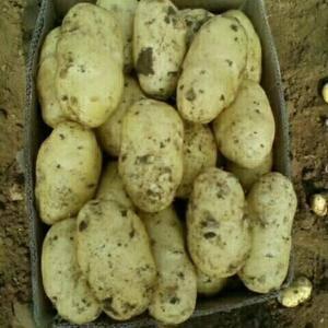 本地大棚土豆大量上市,品种,荷兰系列,中暑,个头均匀,质...