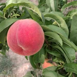 本地有各种早晚熟桃子,6月份大量上市。桃子的主要品种有早...