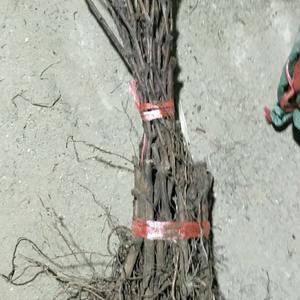 庆会葡萄苗种植基地为一综合性的育苗基地,可供以下优质苗木...