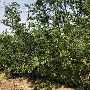 多年生腊梅花树