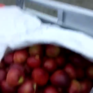 山东油桃供应。13153936155