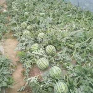 江苏沭阳万亩西瓜基地现已大量上市主要品种有8424与特小...