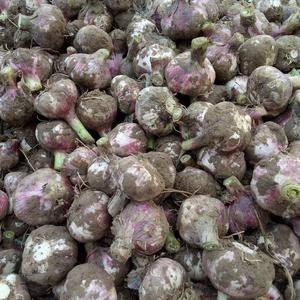 大量供应紫皮大蒜,价格优惠,欢迎新老客户来收购,正在上市...