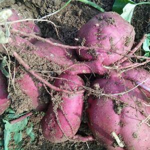 石家庄赞皇县脱毒红薯苗基地,大量供应红薯苗,冷棚育苗,质...