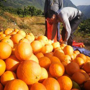 本种植基地橙子货多量广,果大皮薄口感好。