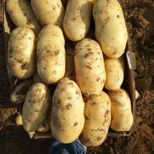 肥城荷兰十五土豆大量上市,规格齐全,价格合理,大棚三层膜...
