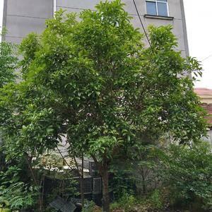 品种有八月桂、丹桂、四季桂等很多。