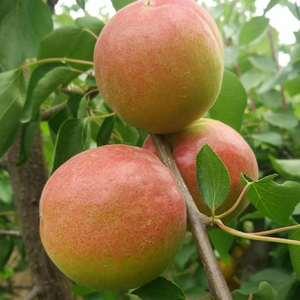 陆地金太阳杏丰园红杏大量上市了,需要的客户联系抓紧时间定...