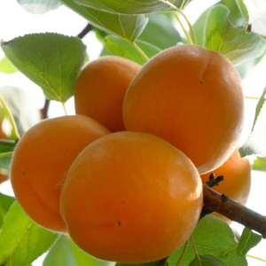 丰源红杏,金太阳杏,大量上市有需要的联系15929843...