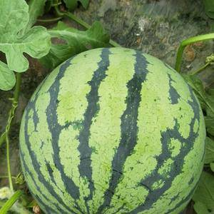 有籽,无籽8424西瓜