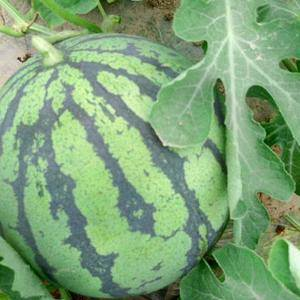 【好消息】本地西瓜瓜棚现摘出售,二十几年种瓜经验。食宿方...