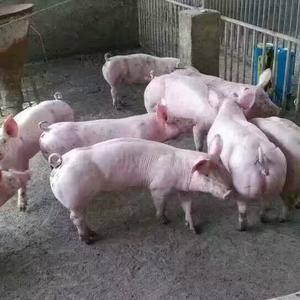 广大新老客户你们好,我县为加强仔猪行业的发展,经畜牧单位...