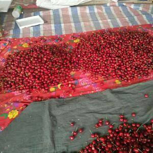 樱桃,油桃大量上市质量非常好(15263635882)