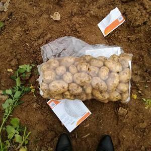 本地土豆种植面积大,货源足,质量好。本着信益第一,服务至...