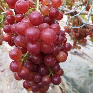 红色无核脆皮葡萄,口感香甜。