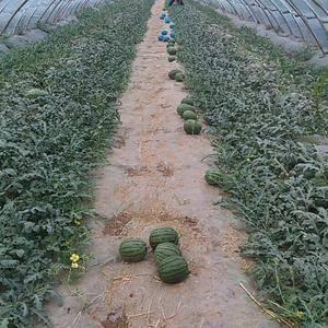 西瓜大量批发中,大红瓤黑籽,甜度好,包熟,要的联系138...